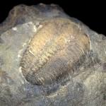 Trilobit Conocoryphe Sulzeri